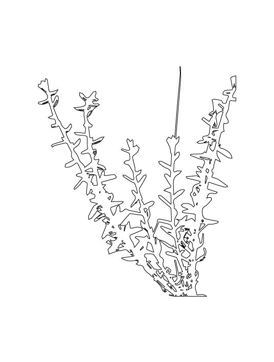 Varthemia iphionoides soap